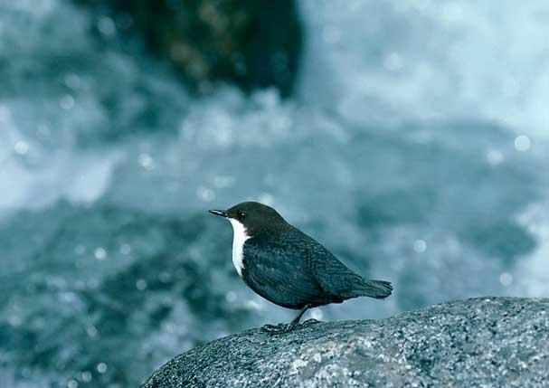 Tipos de aves en el río Sella